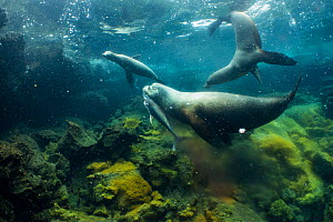 Galapagos sea lions (Zalophus wollebaeki) hunting tuna. A group of the sea lion bulls have learnt to herd Pelagic yellowfin tuna into a small cove, trapping them. The fish often leap ashore in an effo... - Tui De Roy