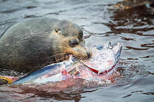 Galapagos sea lion (Zalophus wollebaeki) hunting tuna. A group of the sea lion bulls have learnt to herd Pelagic yellowfin tuna into a small cove, trapping them. The fish often leap ashore in an effor...  -  Tui De Roy