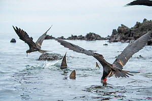Blacktip shark (Carcharhinus limbatus) and Magnificent frigatebird (Fregata magnificens) following the tuna-hunting sea lion into the shallows, sometimes stranding themselves whilst hunting. A group o... - Tui De Roy