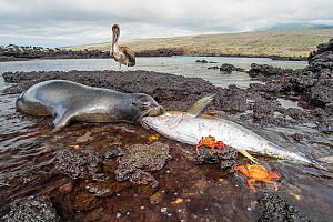 Galapagos sea lion (Zalophus wollebaeki) feeding on tuna, with Sally lightfoot crab (Grapsus grapsus) and a juvenile Galapagos Brown pelican (Pelicanus occidentalis urinator) . A group of the sea lion... - Tui De Roy