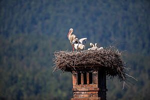 White stork (Ciconia ciconia) family on nest with chick attempting to fly, Slovenia.  -  Franco  Banfi