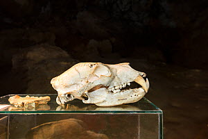 Skull of extinct Gamssulzen cave bear (Ursus ingressus) that lived in Central Europe during the late pleistocene. Krizna Jama / Cross cave, Bloska Polica, Loz valley, Slovenia.  -  Franco  Banfi