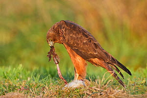 Swamp harrier (Circus approximans) feeding on rabbit  prey (Oryctolagus cuniculus). Lake Ellesmere, Canterbury, New Zealand. April.  -  Andy Trowbridge