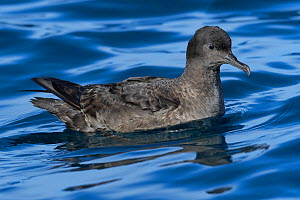 Sooty shearwater (Puffinus griseus) resting on the water. Kaikoura, South Islnad, New Zealand. April. - Andy Trowbridge
