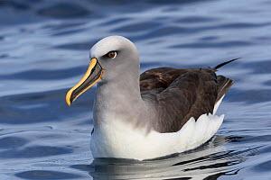 RF - Buller's albatross / mollymawk (Thalassarche bulleri) on water. Kaikoura, South Island, New Zealand. April. (This image may be licensed either as rights managed or royalty free.)  -  Andy Trowbridge