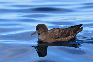 Sooty shearwater (Puffinus griseus) at rest on water. Kaikoura, South Island, New Zealand. April. - Andy Trowbridge