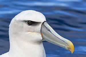 White-capped Albatross (Thalassarche steadi) close-up portrait. Kaikoura, South Island, New Zealand. April.  -  Andy Trowbridge