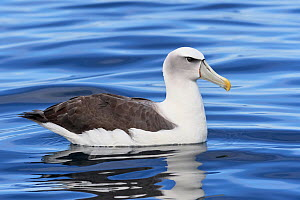 White-capped Albatross (Thalassarche steadi) sitting on the water in profile. Kaikoura, South Island, New Zealand. April.  -  Andy Trowbridge