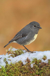 South Island robin (Petroica australis australis) perched on snow covered log. Arthur's Pass National Park, South Island, New Zealand. May. - Andy Trowbridge