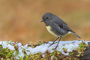 RF - South Island robin (Petroica australis australis) perched on snow covered log. Arthur's Pass National Park, South Island, New Zealand. May. (This image may be licensed either as rights managed or... - Andy Trowbridge
