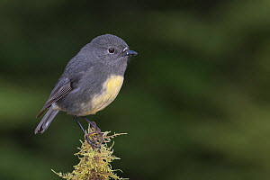 South Island robin (Petroica australis australis) perched on moss covered stump. Arthur's Pass National Park, South Island, New Zealand. May. - Andy Trowbridge