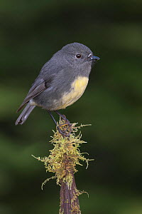 RF - South Island robin (Petroica australis australis) perched on moss covered stump. Arthur's Pass National Park, South Island, New Zealand. May. (This image may be licensed either as rights managed... - Andy Trowbridge