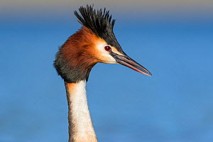 Australasian crested grebe (Podiceps cristatus australis) portrait of head and neck. Ashburton Lakes, Canterbury, New Zealand. August.  -  Andy Trowbridge