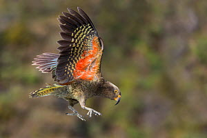 Kea (Nestor notabilis) juvenile in flight. Arthur's Pass National Park, South Island, New Zealand. Endangered Species.  -  Andy Trowbridge