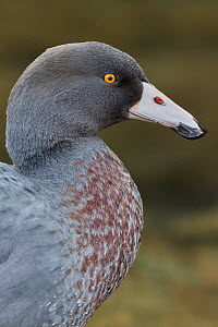 RF - New Zealand Blue duck (Hymenolaimus malacorhynchos) close up portrait. Hokitika, West Coast, South Island, New Zealand. September. Endangered Species. (This image may be licensed either as rights...  -  Andy Trowbridge