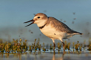RF - Wrybill (Anarhynchus frontalis) feeding in shallow water with flies swarming around. Lake Ellesmere, South Island, New Zealand. November. (This image may be licensed either as rights managed or r... - Andy Trowbridge
