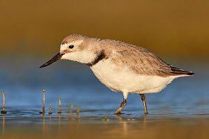 Wrybill (Anarhynchus frontalis) foraging in shallow water. Lake Ellesmere, South Island, New Zealand. November. - Andy Trowbridge