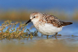 Non-breeding plumaged Red-necked Stint (Calidris ruficollis) standing in shallow water. Lake Ellesmere, New Zealand. November. - Andy Trowbridge