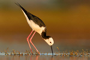 RF - Adult Pied stilt / Black winged stilt (Himantopus himantopus) foraging in shallow water. Lake Ellesmere, New Zealand. November. (This image may be licensed either as rights managed or royalty fre... - Andy Trowbridge