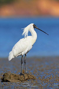 Royal spoonbill (Platalea regia) at rest on mud flat, perched on driftwood. Banks Peninsula, South Island, New Zealand. December.  -  Andy Trowbridge