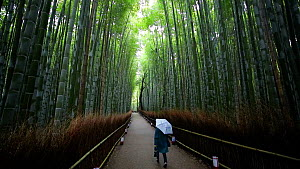 Woman walking along a pathway through a forest of Tortoise shell bamboo (Phyllostachys edulis), Sagano Bamboo Forest, Kyoto Prefecture, Japan, November 2017. (This image may be licensed either as righ... - Gavin Hellier