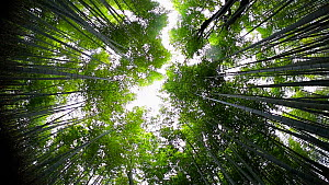 Shot looking up at the canopy of a Tortoiseshell bamboo (Phyllostachys edulis) forest, Sagano Bamboo Forest, Kyoto Prefecture, Japan, November 2017. (This image may be licensed either as rights manage... - Gavin Hellier