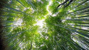 Timelapse looking up at the canopy of a Tortoise shell bamboo (Phyllostachys edulis) forest, Sagano Bamboo Forest, Kyoto Prefecture, Japan, November 2017. (This image may be licensed either as rights... - Gavin Hellier