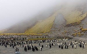 King penguin (Aptenodytes patagonicus) colony in Royal Bay, South Georgia. October 2017. - Tony Heald