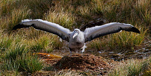 Wandering albatross (Diomedea exulans), chick exercising wings on nest. Prion Island, South Georgia, October.  -  Tony Heald