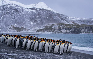 King penguin (Aptenodytes patagonicus) colony in Right Whale Bay, South Georgia. September 2017.  -  Tony Heald