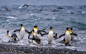 King penguin (Aptenodytes patagonicus) group coming ashore in Right Whale Bay, South Georgia. October.  -  Tony Heald