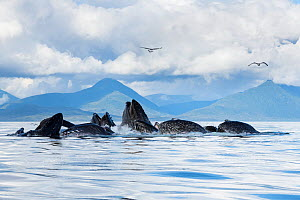 Humpback whales (Megaptera novaeangliae) bubble net feeding on herring, with sea gulls hoping to snatch fish; baleen can be seen in the open mouths of several of the whales; Kupreanof Island, Frederic...  -  Doug Perrine