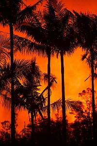 Palm trees in Leilani Community Park, silhouetted against the glow from fountaining lava at fissure 8, Kilauea Volcano, Leilani Estates subdivision, near Pahoa, Puna District, Hawaii. June 2018. - Doug Perrine