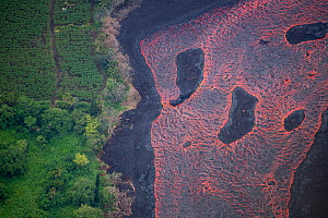 Aerial view of a wide river of lava flowing past an orchard in Kapoho, Puna District, Hawaii. June 2018. - Doug Perrine
