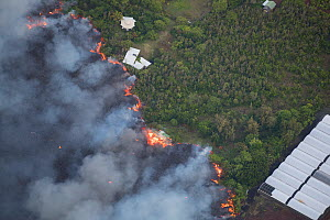 Lava flowing through lower Puna into Kapoho, destroying agricultural properties and burning trees and structures. The lava originated rom Kilauea Volcano, erupting from fissure 8, Leilani Estates, nea... - Doug Perrine