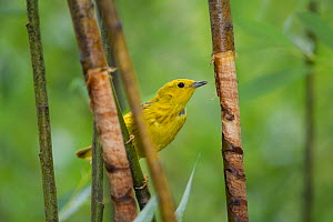Yellow warbler (Dendroica petechia) at Yellow-Bellied Sapsucker site (Sphyrapicus varius) damage in tree to eat sap. Sapsuckers damages trees trunks to feed on sap. Teton National Park, Wyoming, USA....  -  Jeff Foott