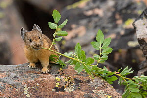 Pika, (Ochotona princeps) bringing vegetation to Hay pile, in Bridger National Forest, Wyoming, USA, July.  -  Jeff Foott