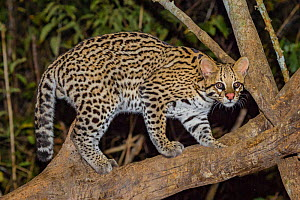 Ocelot (Leopardus pardalis) in tree at night, Pantanal, Brazil  -  Jeff Foott