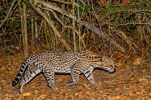 Ocelot (Leopardus pardalis) walking on forest floor at night, Pantanal, Brazil Male.  -  Jeff Foott