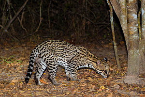 Ocelot (Leopardus pardalis) on forest floor at night, Pantanal, Brazil  -  Jeff Foott