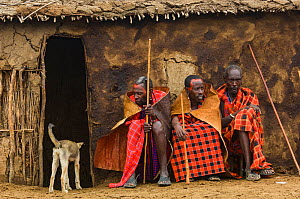 Maasai village elders and dog, Maasai village, Kenya. Africa. September 2006.  -  Jeff Foott