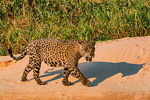 Jaguar (Panthera onca) male on riverbank, Cuiaba River, Pantanal Matogrossense National Park, Pantanal, Brazil.  -  Jeff Foott