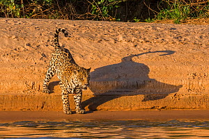 Jaguar (Panthera onca) on river bank, Cuiaba River, Pantanal Matogrossense National Park, Pantanal, Brazil.  -  Jeff Foott
