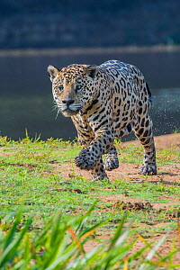 Jaguar (Panthera onca) walking along river bank, Cuiaba River, Pantanal Matogrossense National Park, Pantanal, Brazil.  -  Jeff Foott
