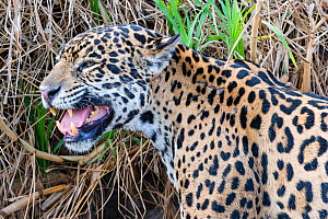 Jaguar (Panthera onca) female , smelling scent marking of male. Cuiaba River, Pantanal Matogrossense National Park, Pantanal, Brazil. - Jeff Foott