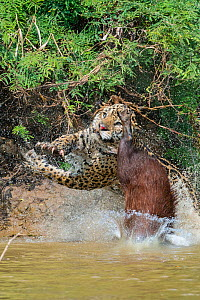 Jaguar (Panthera onca) male, hunting Capybara (Hydrochoerus hydrochaeris). The capybara while jumping away has cut the nose of the Jaguar with its toemail. Cuiaba River, Pantanal Matogrossense Nationa...  -  Jeff Foott