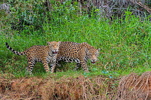 Jaguar (Panthera onca) female and one year old cub. Cuiaba River, Pantanal Matogrossense National Park, Pantanal, Brazil. - Jeff Foott