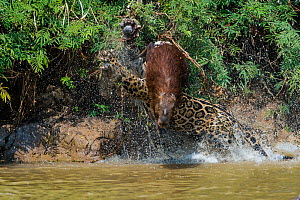 Jaguar (Panthera onca) male, hunting Capybara (Hydrochoerus hydrochaeris). The capybara jumping away has cut the nose of the Jaguar with its toenail. Cuiaba River, Pantanal Matogrossense National Park... - Jeff Foott