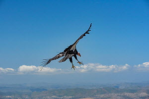 Wild California condor (Gymnogyps californianus) in flight, with wing tag and transmitter, Baja, Mexico. - Jeff Foott