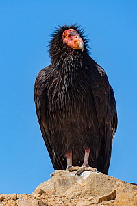 Wild California condor (Gymnogyps californianus) near San Pedro Martir National Park, Northern Baja California, Mexico. - Jeff Foott